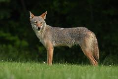 Eastern Coyote (female yearling) (aj4095) Tags: eastern coyote nature wildlife outdoor summer ontario canada toronto nikon