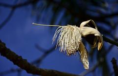Estranha flor (Márcia Valle) Tags: nature natureza márciavalle florabrasileira brazilianflora plants nikon d5100 minasgerais brasil brazil flor fleur flower