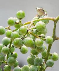 pick me! pick me!!! (marianna armata) Tags: grey treefrog macro animal amphibian marianna armata