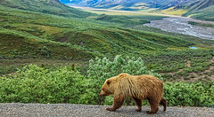 Grizzly Bear (http://fineartamerica.com/profiles/robert-bales.ht) Tags: alaska animals bear denali forupload haybales people photo places projects toworkon wild brown wildlife river outdoors nature animal grizzly usa katmai mammal hunting predator fishing furry eating claw powerful brownbear carnivore hairy amazing angry salmon alaskanbear american strong red fur america alaskan national grass park robertbales ussuri ursusarctos northamerica
