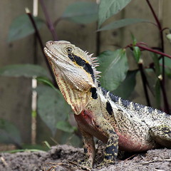 eastern water dragon (Strawbryb) Tags: australianlizzards australianfauna