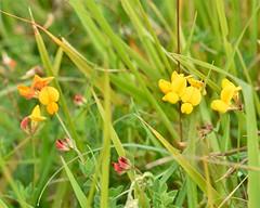 11996 (laba laba) Tags: rodborough common rodboroughcommon gloucestershire stroud macro closeup nature england flower wildflower