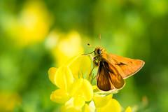 Skipper - dikkopje (de_frakke) Tags: vlinder farfalle schmetterling mariposa nature insect