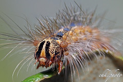 Caterpillar - Raupe des Schwammspinners (Lymantria dispar) (chk.photo) Tags: nature naturewatcher outdoor animal natur makro naturemasterclass light ngc macro raupe austria österreich caterpillar flickr