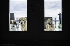 07-12 Eva: Three wet dogs (Dave (www.thePhotonWhisperer.com)) Tags: dog 12monthsfordogs 12monthsforeva brittanyspaniel brittany goldenretriever golden rescue rescuedog