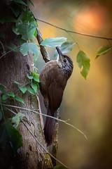 Trepador Oscuro (J Chiavo) Tags: andresito aves birdphotography birdwatching canon7dii dendrocolaptesplatyrostris misiones sansebastian2016 trepadoroscuro bird