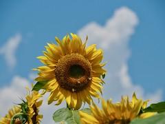 2019 Sunflower #1 (Yorkey&Rin) Tags: 2019 bluesky em5markii hokutocityakeno japan july olympus olympusm14150mmf4056ii p7300031 rin summer sunflower sunflowerfestival sunflowerfield yamanashi ひまわりまつり 夏 向日葵 山梨県 七月 青空 北杜市 明野