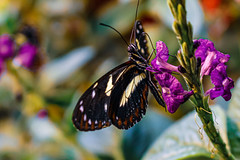 Butterfly and flower (Stephen G Nelson) Tags: insect butterfly insectarium butterflygarden neworleans louisiana audubon