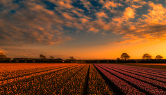 Cinematic sunset in Holland. (Alex-de-Haas) Tags: dji dutch europa europe fc6310 holland nederland nederlands netherlands noordholland p4p phantom phantom4 phantom4pro aerial aerialphotography agriculture akkerbouw beautiful beauty bloemen bloemenvelden boerenland bollenvelden bulbfields farmland farming flowerfields flowers landbouw landscape landscapephotography landschaft landschap landschapsfotografie lente lucht luchtfotografie mooi polder pracht quadcopter schoonheid skies sky spring sundown sunset tulip tulips tulp tulpen zonsondergang warmenhuizen northholland