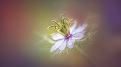 Nigella (Dhina A) Tags: sony a7rii ilce7rm2 a7r2 a7r iscoopticultramc95mmf2 isco optic ultra mc 95mm f2 cinema projector projection lens schneider soft creamy smooth bokeh manualfocus iscooptic