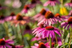 Echinacea (isabel.benkert) Tags: blume flower blüte blossom sommer summer sonne sun echinacea sonnenhut natur nature