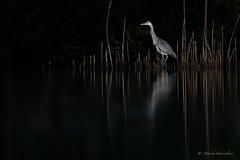 Héron cendré-Ardea cinerea (PatNik01) Tags: oiseau echassier heroncendre ardeacinerea eau etang france dombes nikon affutflottant lumiere roseau naturesauvage nature bird birds wild willife