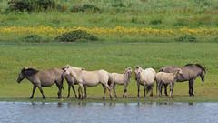 M2210567 E-M1ii 300mm iso200 f5.6 1_640s 0 (Mel Stephens) Tags: 20190721 201907 2019 q3 16x9 wide widescreen olympus mzuiko mft microfourthirds m43 300mm pro omd em1ii ii mirrorless gps uk scotland aberdeenshire loch strathbeg animal animals livestock nature wildlife fauna pony ponies best
