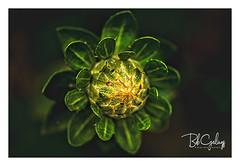 Trying to open up (Bob Geilings) Tags: macro yellow closeup orange mood flora nature bokeh background summer shadow dark colors green plant vegitation plantlife