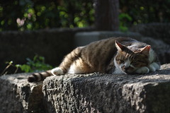 Brown Tabby Cat (Flexible Negativity) Tags: 猫 cat 貓 meow ねこ caturday nuko k70 pentax browntabby catmoments
