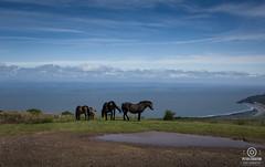 wild  on exmoor (kapper22) Tags: exmoor ponies outdoor coast porlock sea hills grass grazing foal sky blue waves water trees beach sand
