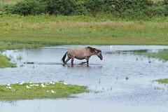 M2210553 E-M1ii 300mm iso200 f5.6 1_500s 0 (Mel Stephens) Tags: 20190721 201907 2019 q3 3x2 6x4 wide widescreen olympus mzuiko mft microfourthirds m43 300mm pro omd em1ii ii mirrorless gps uk scotland aberdeenshire loch strathbeg animal animals livestock nature wildlife fauna pony ponies