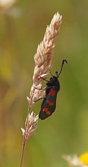 2019_06_0580 (petermit2) Tags: sixspotburnetmoth sixspotburnet burnetmoth burnet moth zygaenafilipendulae zygaena zygaenidae vc63 edlingtonpitwood newedlington edlington doncaster southyorkshire yorkshire