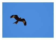 Milvus milvus (M.L Photographie) Tags: nature animal bird oiseau birds oiseaux wild wildlife wildlifephotography france corse corsica nikon coolpix p900 ornitho ornithologie ornithology