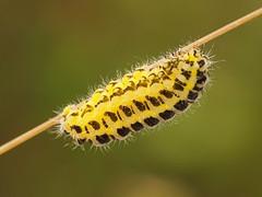 2019_06_0583 (petermit2) Tags: sixspotburnetmoth sixspotburnet burnetmoth burnet moth zygaenafilipendulae zygaena zygaenidae caterpillar larva larvae vc63 edlingtonpitwood newedlington edlington doncaster southyorkshire yorkshire