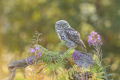 Little Owl (Athene noctua) (phil winter) Tags: littleowl athenenoctua fledgling