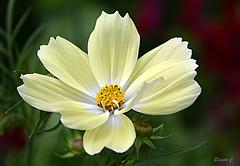 Thursday`s Flower (Eleanor (New account))) Tags: flower cosmos creamflower bud busheyrosegarden bushey uk nikond7100 july2019