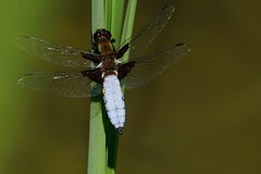 DSC06951 - Broad bodied Chaser (steve R J) Tags: broad bodied chaser south hanningfield reservoir ewt reserve essex dragonfly british odonata