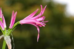 Nerine Flower (abrideu) Tags: abrideu canoneos100d nerine nereria macro flower depthoffield pink bright bokeh bouquet ngc
