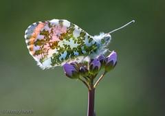 Male Orange-tip (Wendy North) Tags: millmoor butterflies male april 2019 butterfly orangetip