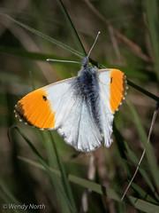 Male Orange-tip (Wendy North) Tags: orangetip butterflies male millmoor april 2019 butterfly