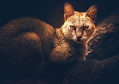 The Look ... (tchakladerphotography) Tags: nature naturallight cat wild zoo colors portrait mood atmospheric dark animal nikon tamron