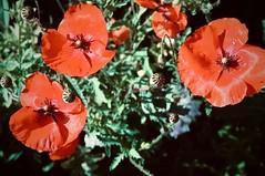 klaproos (delnaet) Tags: klaproos coquelicots poppies rood red rouge rot amapolas roja flor fleur bloem flower blume