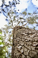 LVM: Un gran árbol (AriCatalán) Tags: arbol tree nature naturaleza tronco pino juegolvm jackierueda lvm