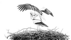 Black and white photo of a pair of white storks on the nest, in a courtship mating ritual display. (Photography by Adri) Tags: amsterdam beautiful blue europe netherlands red water adult animal animals background beak beauty big birds birdwatching branch breeding ciconia color couple european family fauna flapping home large legs life long love mating migratory nature nest outdoors outside pair sky spread spring stand stork storks summer sunlight symbol two wader white wild wildlife wings