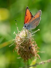 Purple-edged Copper (ArtFrames) Tags: butterfliesofswitzerland naturetrek swiss butterflies