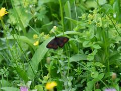 Scotch Argus (ArtFrames) Tags: butterfliesofswitzerland naturetrek swiss butterflies scotch argus