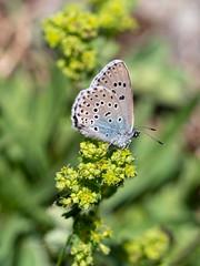 Large Blue (ArtFrames) Tags: butterfliesofswitzerland largeblue naturetrek swiss butterflies