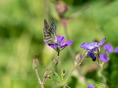 Mountain Green-veined white (ArtFrames) Tags: butterfliesofswitzerland mountaingreenveinedwhite naturetrek swiss butterflies