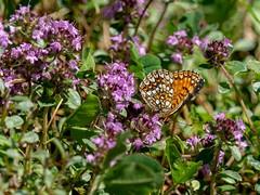 Heath Fritillary (ArtFrames) Tags: butterfliesofswitzerland heathfritillary naturetrek swiss butterflies