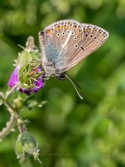 Geranium Argus (ArtFrames) Tags: swiss butterflies geranium argus naturetrek butterfliesofswitzerland