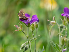 Chequered Skipper (ArtFrames) Tags: butterfliesofswitzerland chequeredskipper naturetrek swiss butterflies