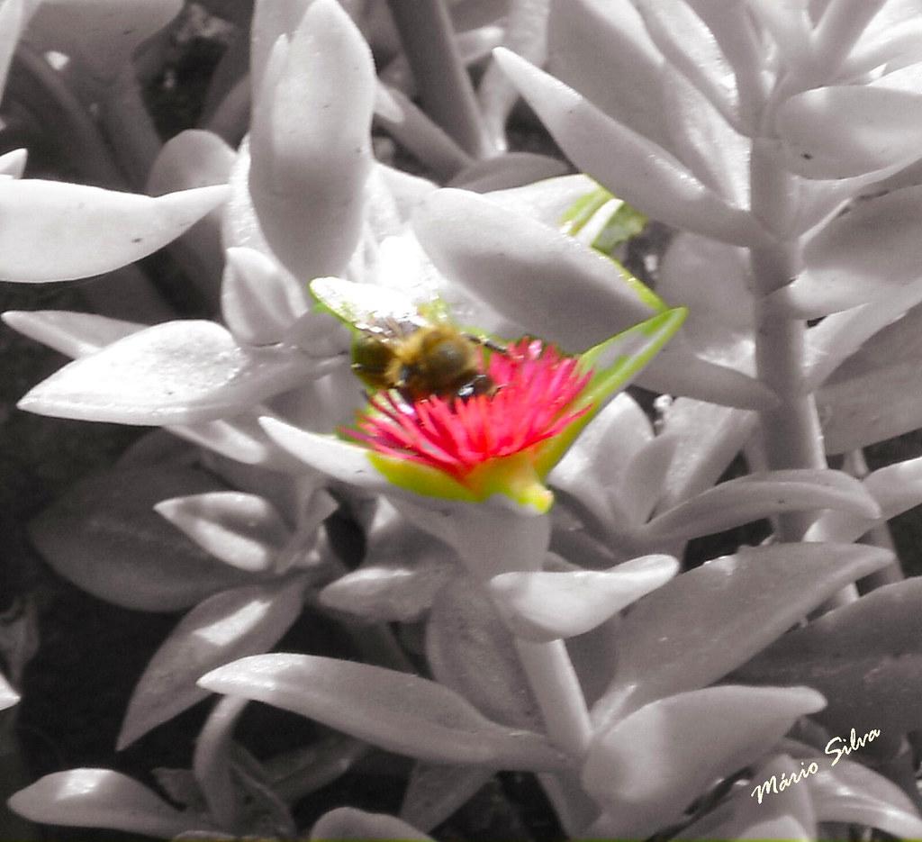 Águas Frias (Chaves) - ... a flor de cato e a abelha colhendo o seu alimento para fazer o saboroso mel ...