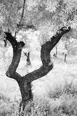 Olivo (jlben Juan Leon) Tags: fuji infrared 35 3514 infrarrojo fujixpro1 fujixf35mm14 fujixpro1ir fujiir trees arboles olivos olivetree fujifilmxf35mm14