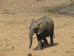 Baby Elephant  /  jong olifantjie (Pixi2011) Tags: elephants wildlife southafrica africa wildlifeafrica big5 nature