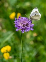 A white - might be a mountain variety....or not (ArtFrames) Tags: butterfliesofswitzerland naturetrek swiss butterflies