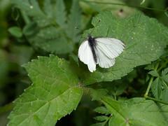 Mountain green-veined white (ArtFrames) Tags: butterfliesofswitzerland naturetrek swiss butterflies mountain greenveined white