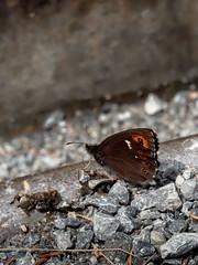 Arran Brown underside (ArtFrames) Tags: butterfliesofswitzerland naturetrek swiss butterflies