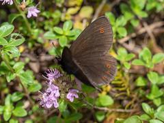 Bright-eyed Ringlet (ArtFrames) Tags: butterfliesofswitzerland naturetrek swiss butterflies brighteyed ringlet