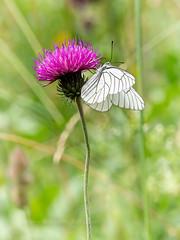 Black-veined White (ArtFrames) Tags: butterfliesofswitzerland naturetrek swiss butterflies blackveined white