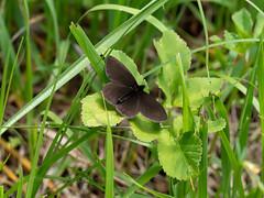 Another Ringlet sp - probably bright-eyed (ArtFrames) Tags: butterfliesofswitzerland naturetrek swiss butterflies